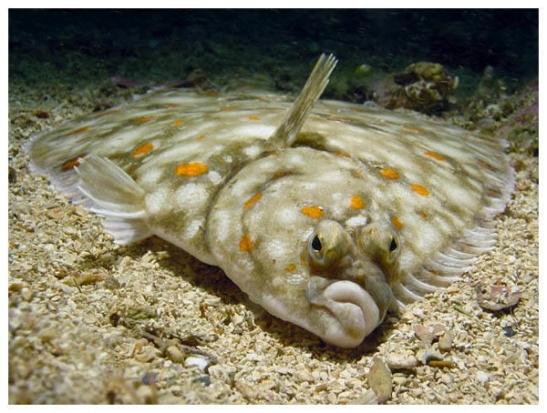flounder-600
