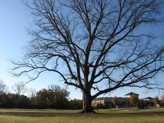 Pecan Tree 112109